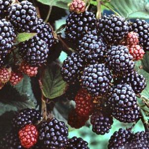 Darrow Blackberries.png