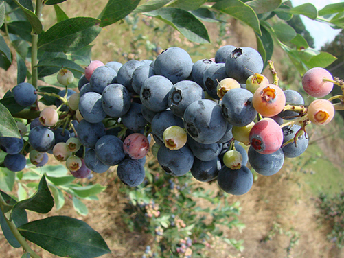 Southland Blueberries.png
