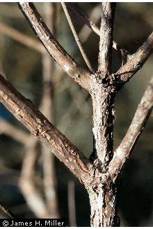Buttonbush Bark.jpg