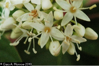 Red osier flower.jpg