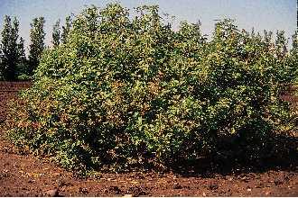 Red osier shrub.jpg