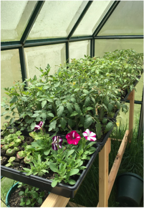 Geraniums, petunias and tomatoes in the outdoor greenhouse. We also started strawberries in hanging baskets - can you see them below?