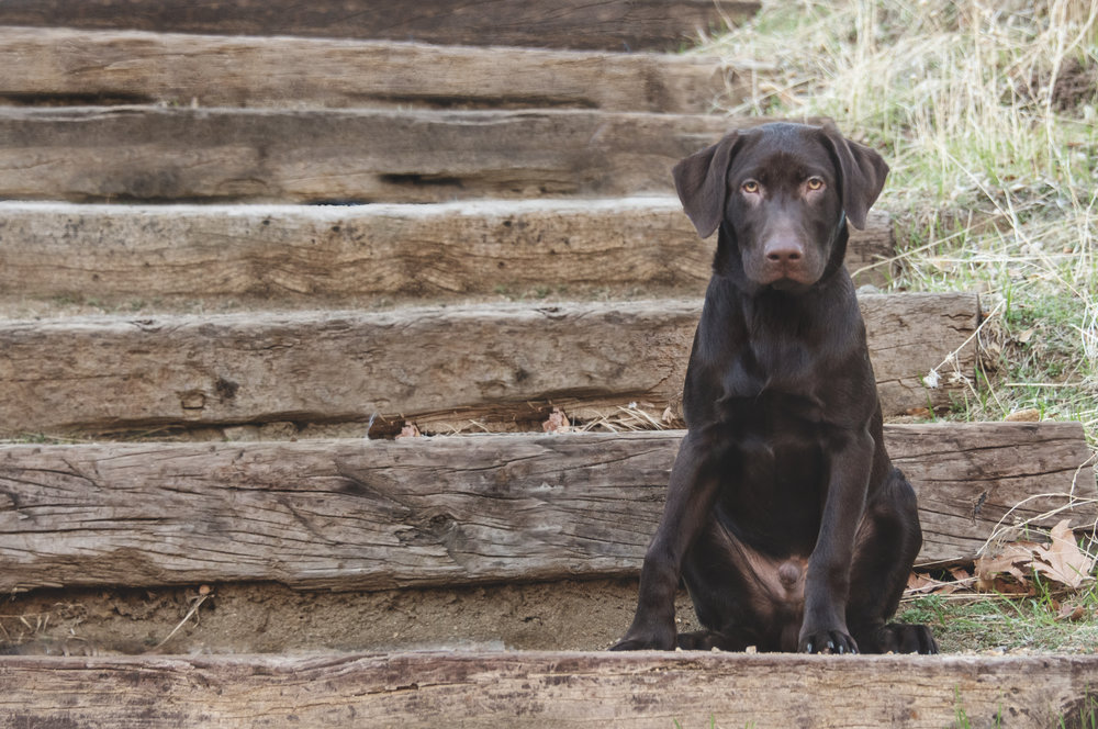 chocolate_lab_puppy.jpg