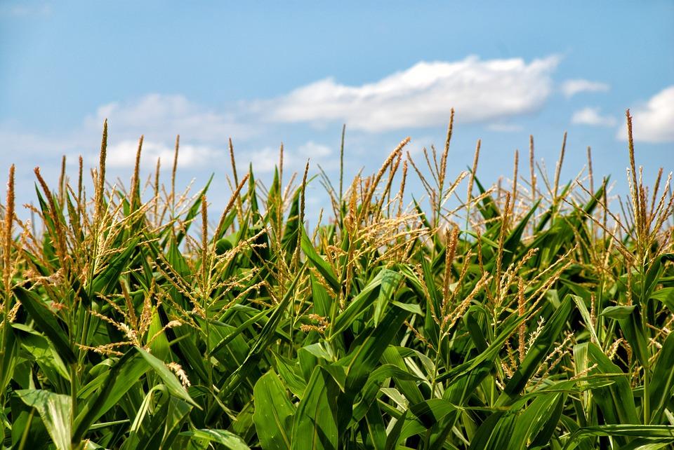 corn-gmo-genetics