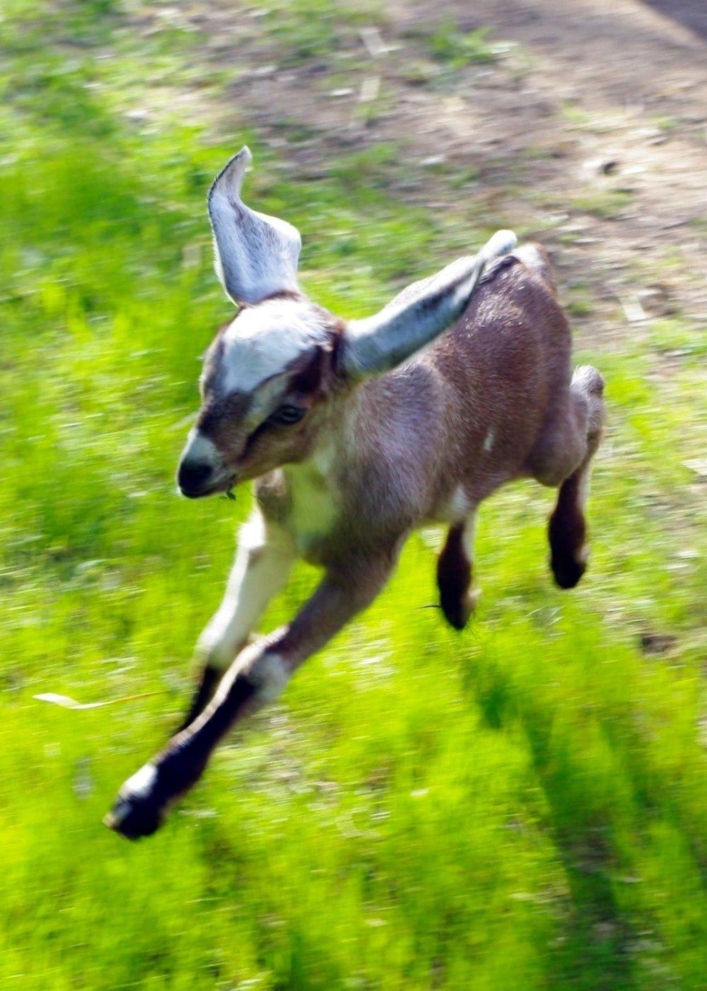 flying goat kid.jpg