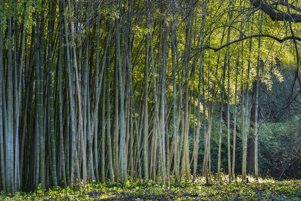 Farming - Bamboo is one of the most ecologically friendly and durable plants on the planet. It grows rapidly and is naturally regenerated through its strong root system. It doesn't need pesticides, fertilizers, insecticides, herbicides, or harmful chemicals.