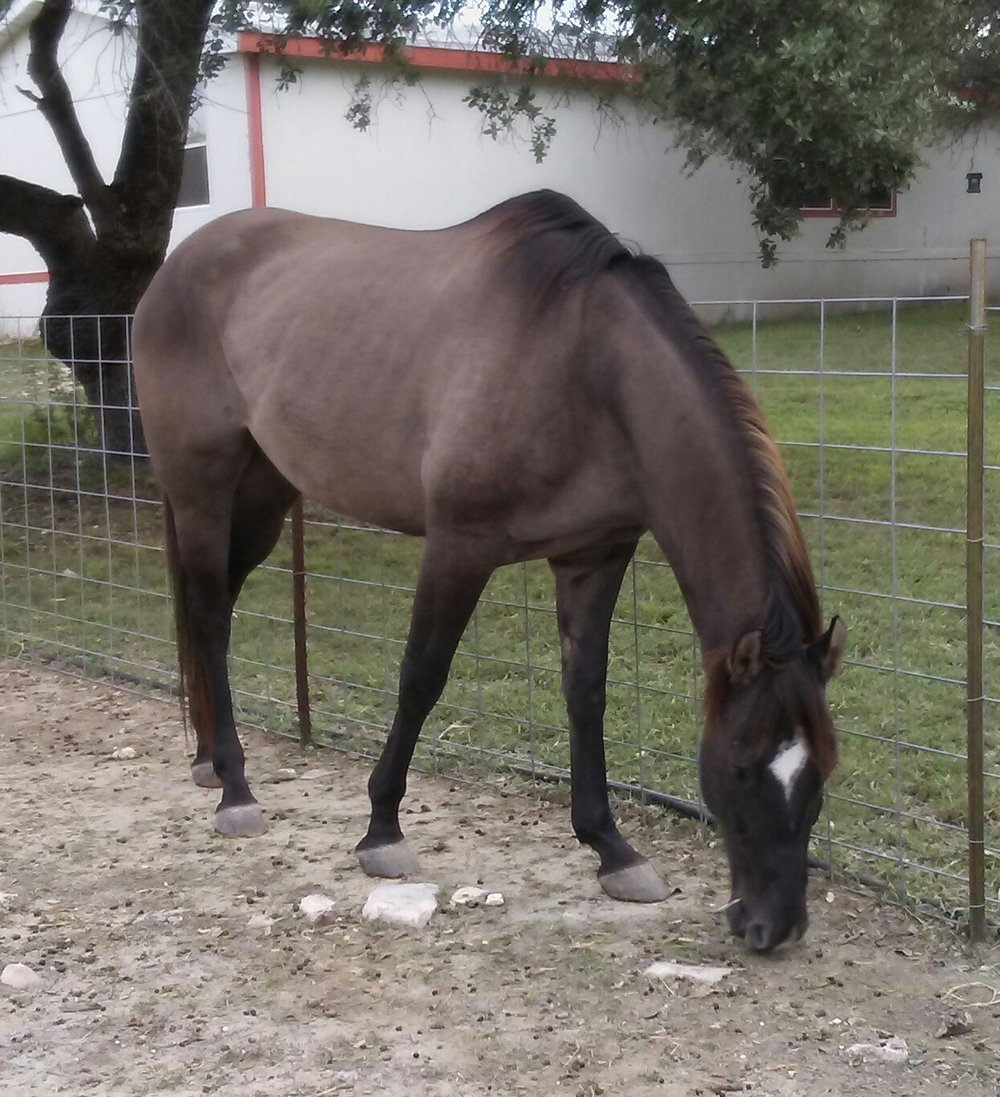 "Gunsmoke-  A rescue horse. He had been starved but has made a full recovery! We call him the ""cadillac "" as he is such a smooth rider!"