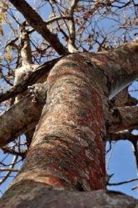Beautiful Image of Bursera Graveloens, from www.aromachat.com