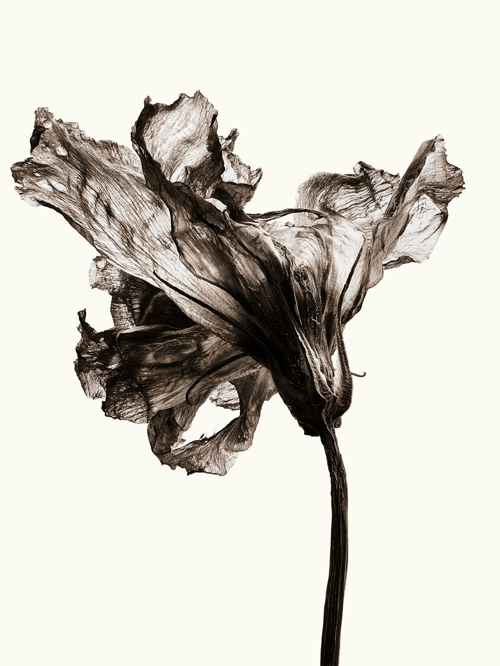 Dried Lisianthus