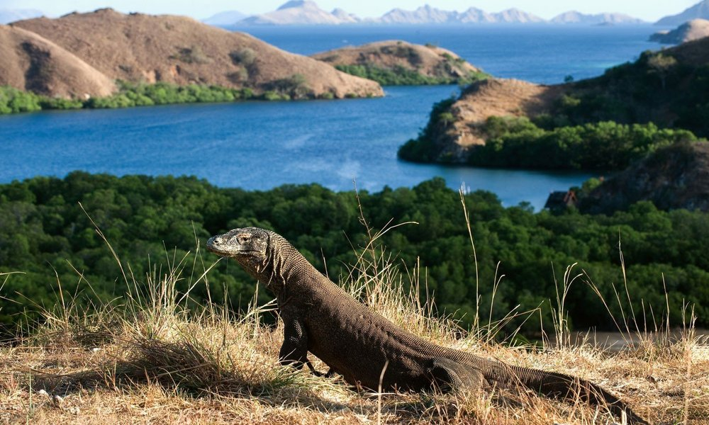Komodo Dragons lives in Flores only - Komodo Dragons are approximately 2,500 living on 5 islands: Komodo Island (1,000), Rinca Island (1,300),  Flores, Gili Motang (100) and Padar Island (few specimen). They are very old and exist for millions of years. They are discovered only 100 years ago!