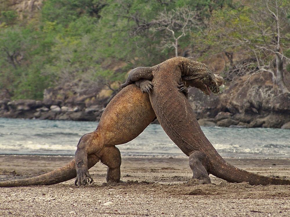 Komodo Dragons -
