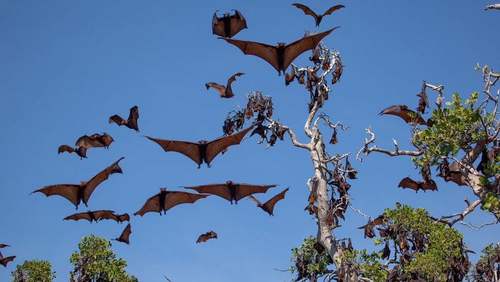 Veliki-netopir-1.jpg