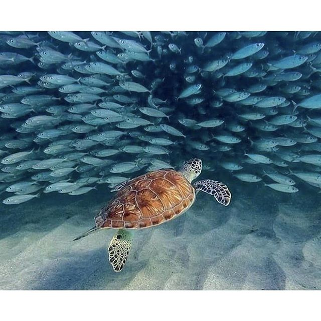In the world, there are seven sea turtle species, six of them live in Indonesia ! 🌴 Book your trip ✨ Credit: 📷 @jade_elise_collins . . . . #helloflores #floresisland #visitflores
