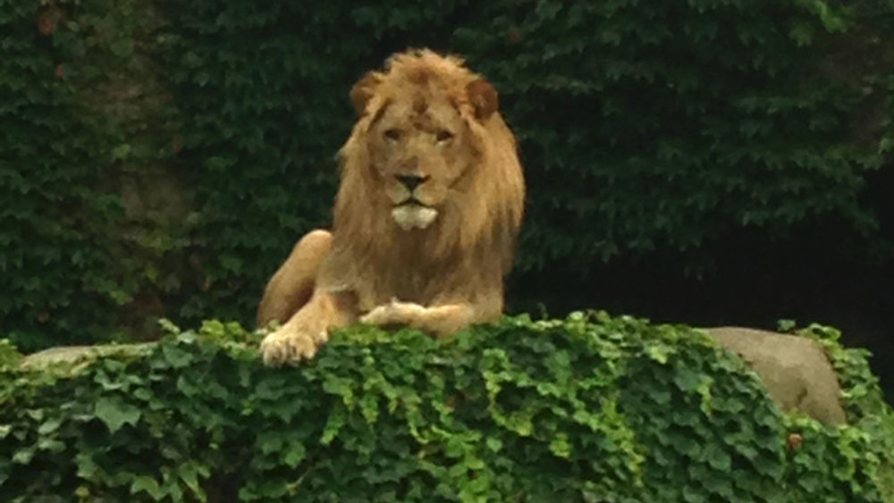 Lincoln Park Zoo lion watches over the water feature construction.