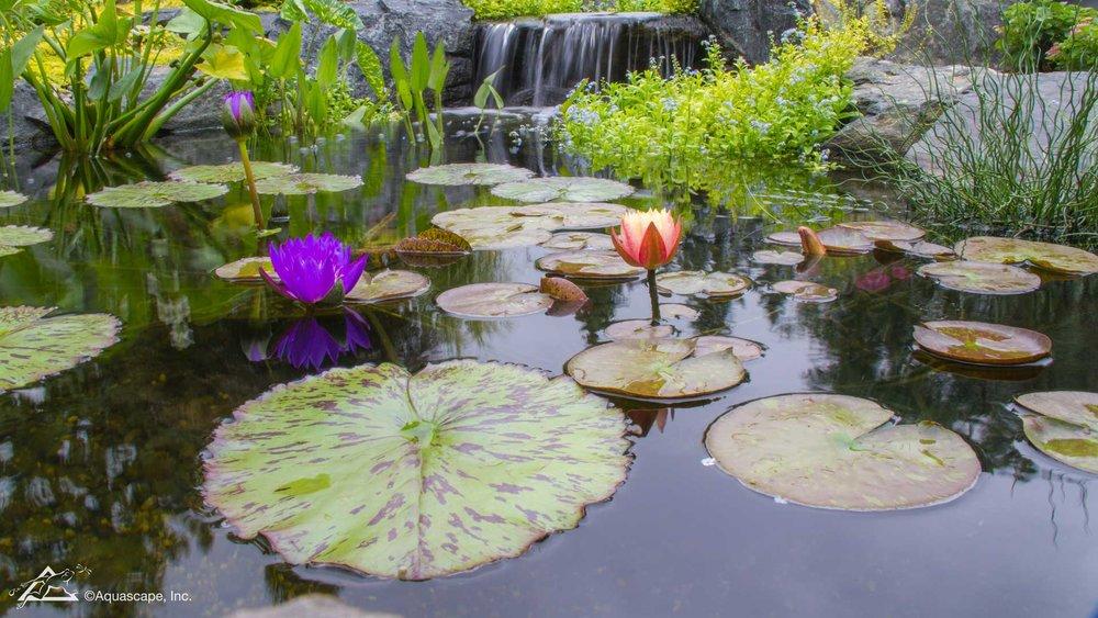 Auburn-Sky-Aquascape-Aquatic-Plants.jpg