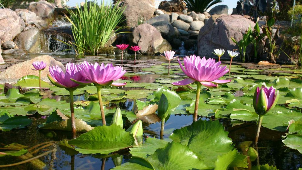 Auburn-Sky-Landscaping-Pond-Aquatic-Plants.jpg