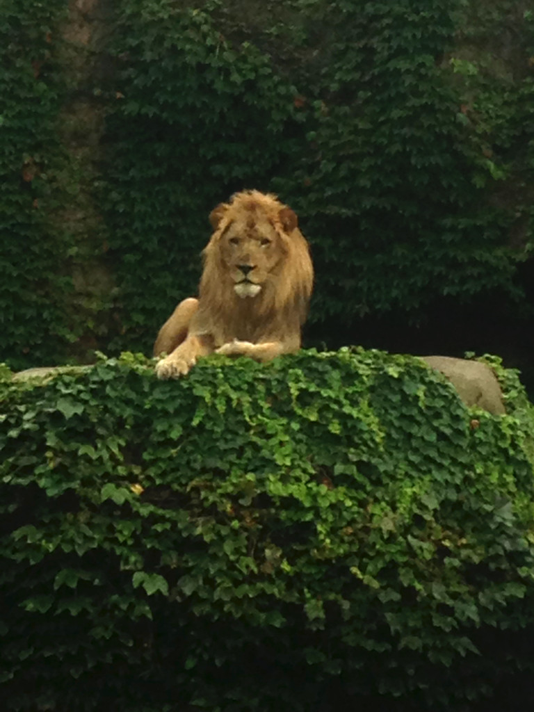 Auburn-Sky-Landscaping-Aquascape-Waterfall-Installation-Lincoln-Park-Zoo-lion-close.jpg