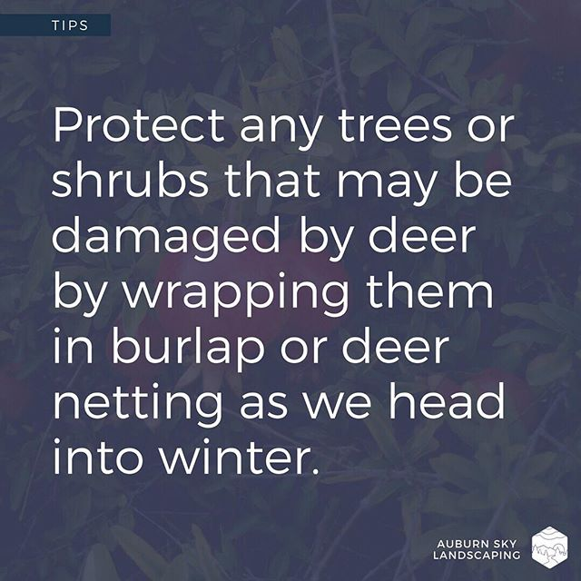 Do you find yourself struggling to keep the deer away from your plants, especially during the winter? Consider wrapping your plants in deer-netting to help keep the deer from nibbling (or outright gorging) on your shrubs and trees this winter. - - - - #tuesdaytip #tuesdaytips #gardentips #njdeer #winterprep #njgardens #njflowers #njlandscapers #landscapelife #landscapedesign #landscapedesigner #softscape #gardenlifestyle #backyardlife #sussexcountynj #spartanj #lafayettenj #auburnskylandscaping #becausepropertiesdream