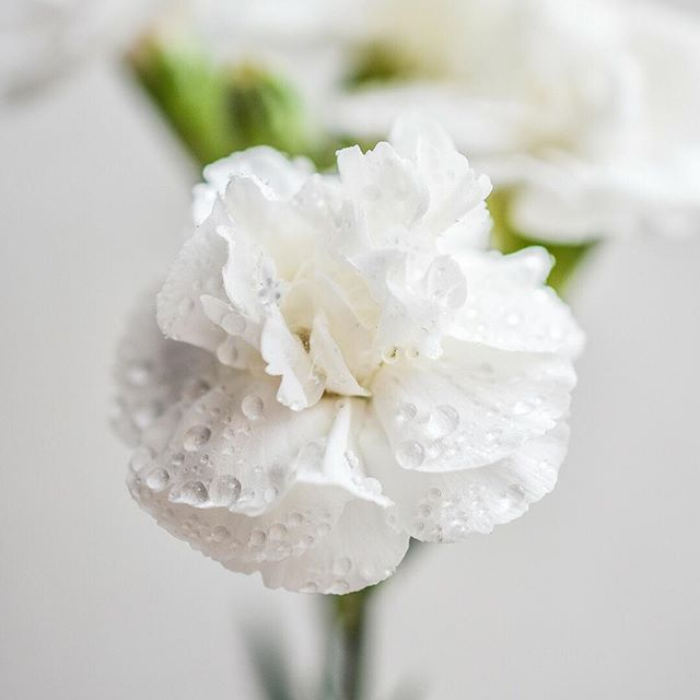 "Did you know? The Carnation's name is not really Carnation. 🤔. It's actually a Dianthus but the story goes that this particular breed of the Dianthus family was used in Greek coronation ceremonies and so gained the name ""Carnation."" - Well, today we know it as a Carnation and as January's birth flower. It's also the state flower of Ohio, chosen as a way to honor President William McKinley shortly after he was assassinated in 1901. McKinley, who was Ohio's governor before he became president, regularly wore a scarlet carnation on his lapel, according to Wikipedia. - The French also love Carnations: they are known to use the oil from Carnations to treat hair loss, relax muscles, and help clean and protect people's skin as an ingredient in skin cream. - It's a multi-purpose flower and a lovely addition to any seasonal bouquets you've got around the house this holiday season. - - - - #carnations #dianthus #fridayflowers #flowerfriday #fallflowers #njflowers #njgardens #flowersofig #landscapelife #landscapedesign #landscapedesigner #backyardgarden #njlandscapers #sussexcountynj #spartanj #lafayettenj #auburnskylandscaping #becausepropertiesdream"