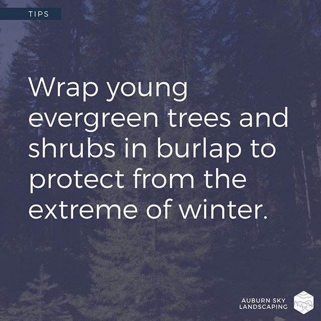 "Winter prep: wrap your young evergreen shrubs and trees to protect against what's called ""winter burn."" - ""Winter burn"" can occur when, in conjunction with the plants' normal processes of photosynthesis and transpiration, the frozen ground and strong, frigid winds all act to dehydrate your plants. This dehydration can cause the plants to turn brown and parts of them to die off. - Using burlap can help protect the plants from drying winds and excessive transpiration. - If you're not sure about this and would like Auburn Sky to take care of it for you, please call us at 973-383-4840 or reach out to us via our website www.auburnskylandscaping.com. - - - - #tuesdaytip #tuesdaytips #gardentips #winterprep #winterburn #njgardens #njlandscapers #landscapelife #landscapedesign #landscapedesigner #softscape #gardenlifestyle #backyardlife #sussexcountynj #spartanj #lafayettenj #auburnskylandscaping #becausepropertiesdream"