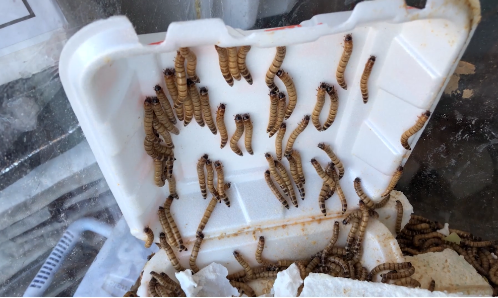 How Styrofoam Eating Super Worms Are Helping Us Go Zero Waste Chasing A Sun