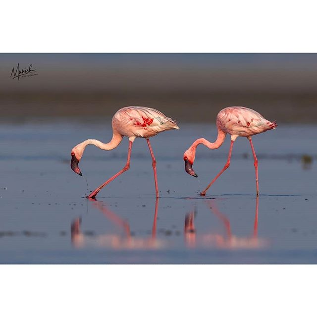 Guest of honor ! The beautiful migrants of Pulicat, the lesser flamingos... By a beautiful dawn.. Mar'19 | Pulicat | 5D iv + 400 2.8 IS II + 1.4 III © www.munishphotography.com  #birdsofindia #birds #best_bird_shots #best_birds #birdsofinstagram #birds_nature #birdsonearth #sattalbirds #sattal #himalayas #utharakhand #yourbestbirds #birds🐦 #bird #flamingeo #masaimara #flamingeos #chennai #mychennai #chennaites #chennaidiaries #chennaiphotographer @wildbirdtrust @birdsofindia.co.in @your_best_birds @your_best_animal @best_birds_of_world @bestbirdshots @bestbirdpix @best_birds_of_world @mycitychennai @birds_adored @birds_illife
