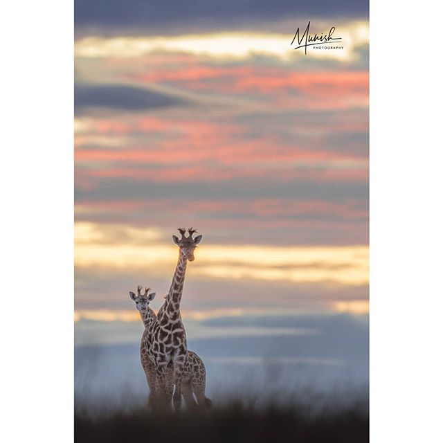 The hues of the dawn... Have a great day ahead.  Masai mara | November 2018 © www.munishphotography.com  #masaimara #maasaimara #kenya #savannah #africa #african_portraits #africanwildlife #africageo #bbcearth  #naturephotography  #safari #wildlifeart #indianafricanwildlife #wildlifeonearth #photosafari #photography #africa #african_portraits #africanwildlife #africa #mammal #baby #naturephotography #nature #goldenlight  #natgeo #natgeoyourshot #bbcearth #ourlonelyplanet  @natgeoyourshot @natgeoindia @canonindia_official @canonasia sia @natgeotravel @lonelyplanet @lonelyplanetmagazineindia @bbcearth @bbc_travel @natgeo_africa @world_wildlife @indian.african.wildlife @africageo @africanwildlife_ @mammals @zealwildlife #masaimara @lion_loverss @lion.nom.suffit @indian.african.wildlife @africanimals @african_portraits @africanwildlifefoundation @natgeo_africa @african.inspired