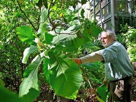 Larry Miller shows us Big Leaf Magnolia bloom