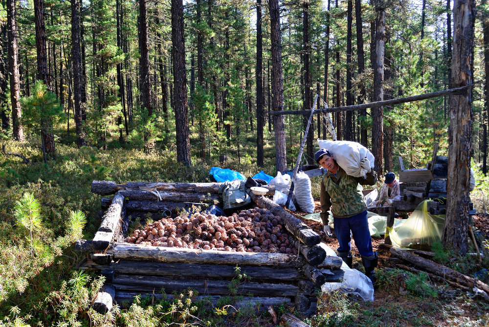 Harvesting-Pine-nuts.jpg