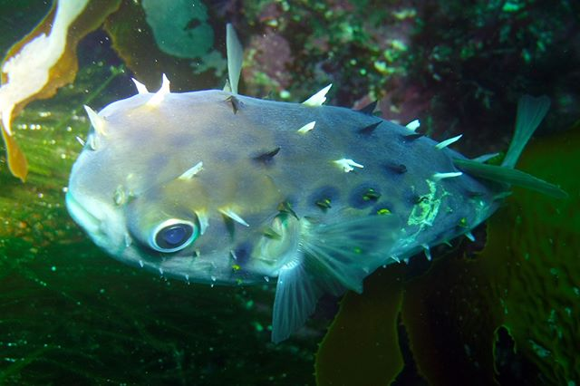 This cute little Porcupine fish can inflate himself if he feels in danger by swallowing water or air. This defence mechanism reduces the amount of predators to those with bigger mouths. They also carry a neurotoxin poison in their livers and ovaries that is 1200 times more potent than cyanide. — at Milford Sound.