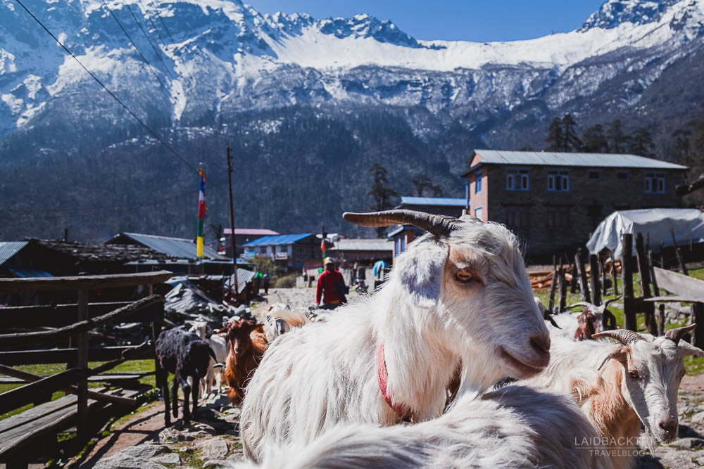 annapurna circuit trekking   sheep herd   besisahar to chame   part 1   laidback rip
