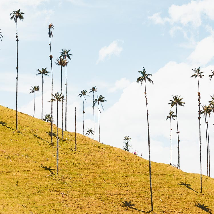 Cocora valley - Walking Among Giants