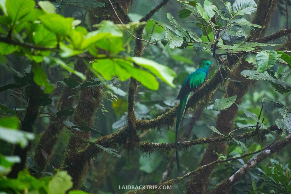 You can see Quetzals in Boquete.