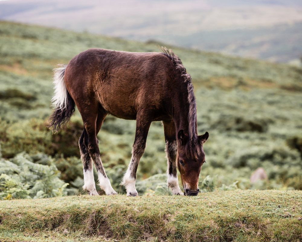 DARTMOOR FOAL - Looking back to last August when I spent time on Dartmoor photographing all the gorgeous foals. I loved the multi-coloured tail on this little one.