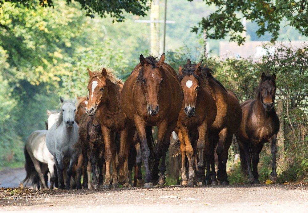 New Forest ponies drift herd.jpg