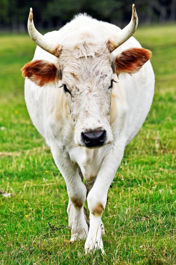 vn-medium-chillingham-cow.jpg