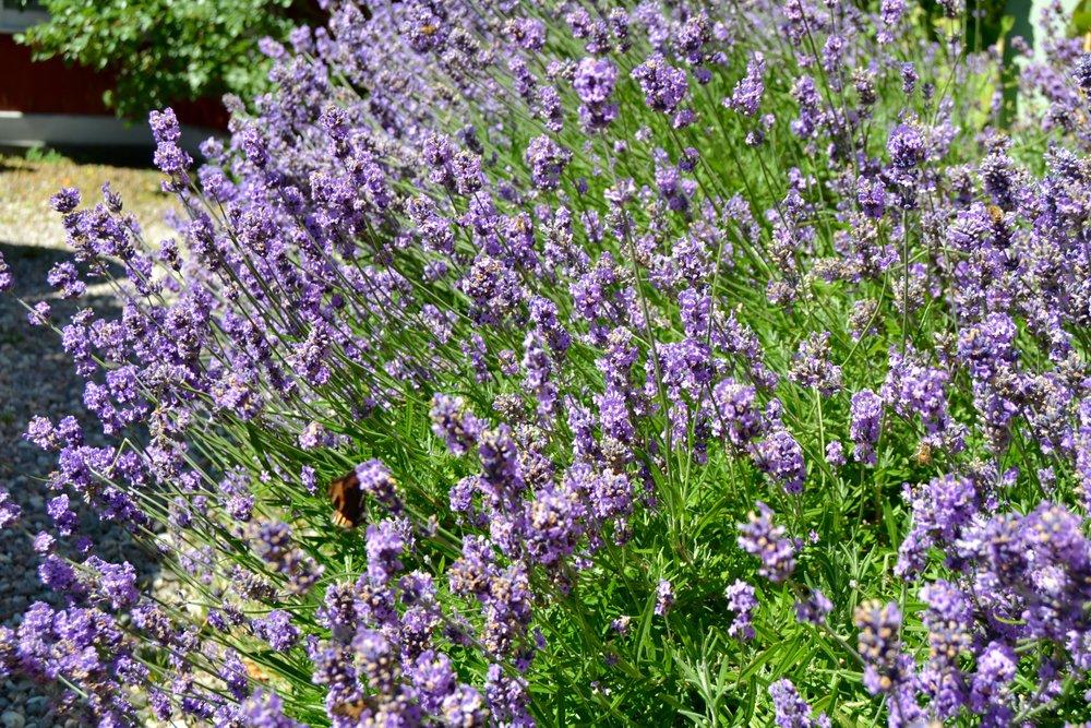 Njut av dofter från lavendel, rosor, liljor och kaprifol. -
