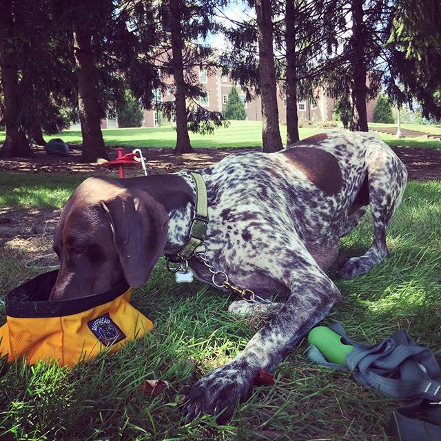 Some days it's just too damn hot to get up and drink that you have to crawl to your water dish to drink. Today is one of those days! #toohot #gsp #water #dogbowl #traveling #summer #stayingcool #outdoors #90degrees #chill #summerday #gspoftheday
