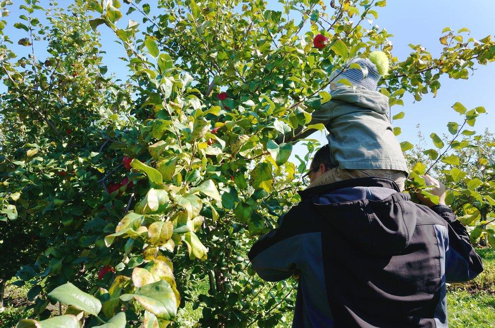 14 picking apples.jpg