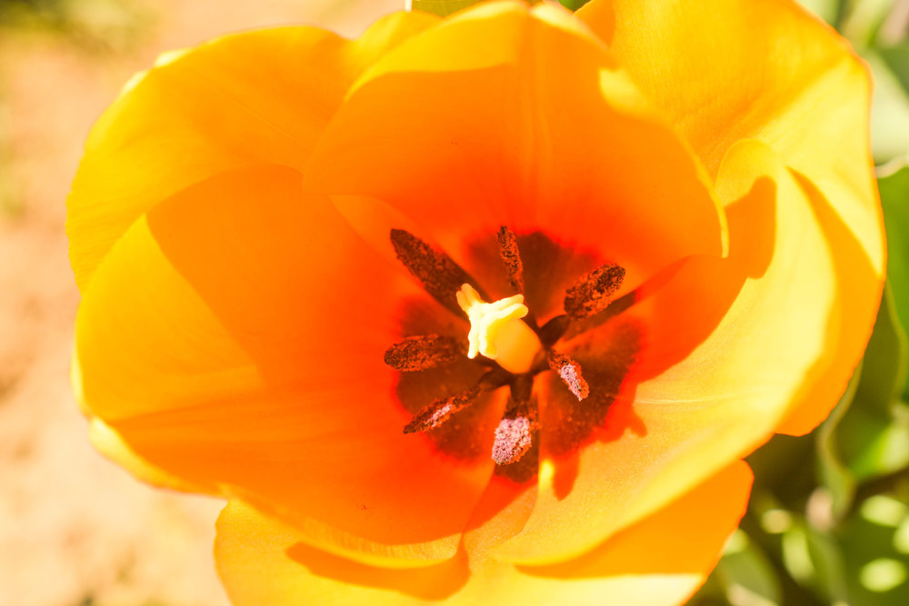 Anastasia Tanner - Yellow Tulip