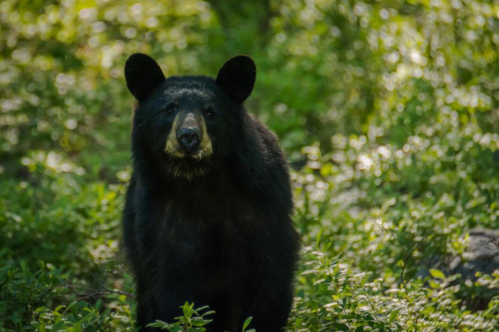 Backyard Bear-1.jpg