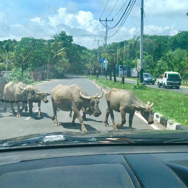 On the way to Kuta Heights land and the water buffalo ( Lombok traffic lights) stop is dead while they slowly cross