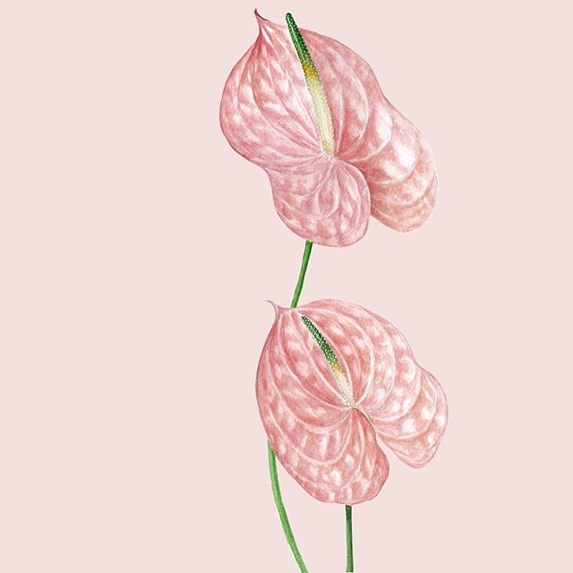 Got my head around to share my latest watercolour piece - the #anthurium Happy with how it turned out. This will be added to my alphabet collection. (Watch this space, more update coming soon) - I'm feeling pretty good about my recent work. Hopefully I have enough time to materialise all the creative juices that's been floating in my head! It's nice to have that feeling! Do you ever feel that you just have so many ideas that make you want to create? What do you do when it happens? . . . . . . #watercolor #artdaily #watercolorists #waterblog #sydneyartist #artist #watercolorPH #artph #plants #winsorandnewton #watercolor_guide #art_public #illustration #greenery #illustration_best #monsteramonday #botanicalillustration #watercolorpainting #watercolorsketch #sketchbook #grafic #waterblog #cartel_watercolorists #watercolorillustration #inspiring_watercolors #topcreator #celebratecreativity #watercolor_daily #SURELYSIMPLEART