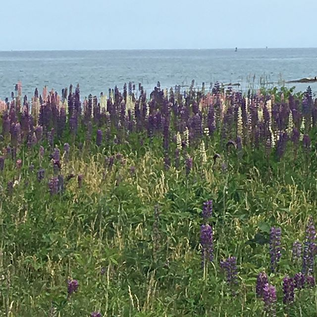 I am not sure if lupine is the Maine state flower, but if it isn't, it should be. This field has colors of purple, pink and white. This field is rightright at the ocean at Prospect Harbor and explodes with color at this time every year.