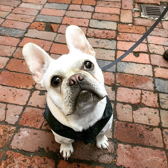 We loved meeting @welliethefrenchie yesterday! 😍☀️ #baaagel dog of the day 🐶 . . . #bostonfoodies #bostonfoodie #eastcoastfoodies #breakfasttime #coffeeshop #bagelshop #foodstagram #foodie #bagelsandwich #dogsofinstagram #dogstagram #dogfriendlypatio #foodphotography #foodphoto #bageldog #glutenfreebagel #glutenfreeeats #lox #loxandcreamcheese #avocadotoast #bestfoodboston #bostonfood #dailyfoodfeed #collegefoodie #collegeeats #harvard #harvardsquare #harvardyard