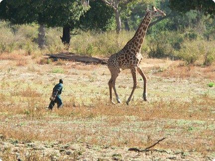 GiraffeBeingDarted-32-600-450-80-rd-255-255-255.jpg