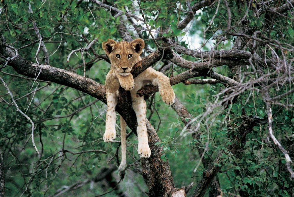 Lion cub1.jpg