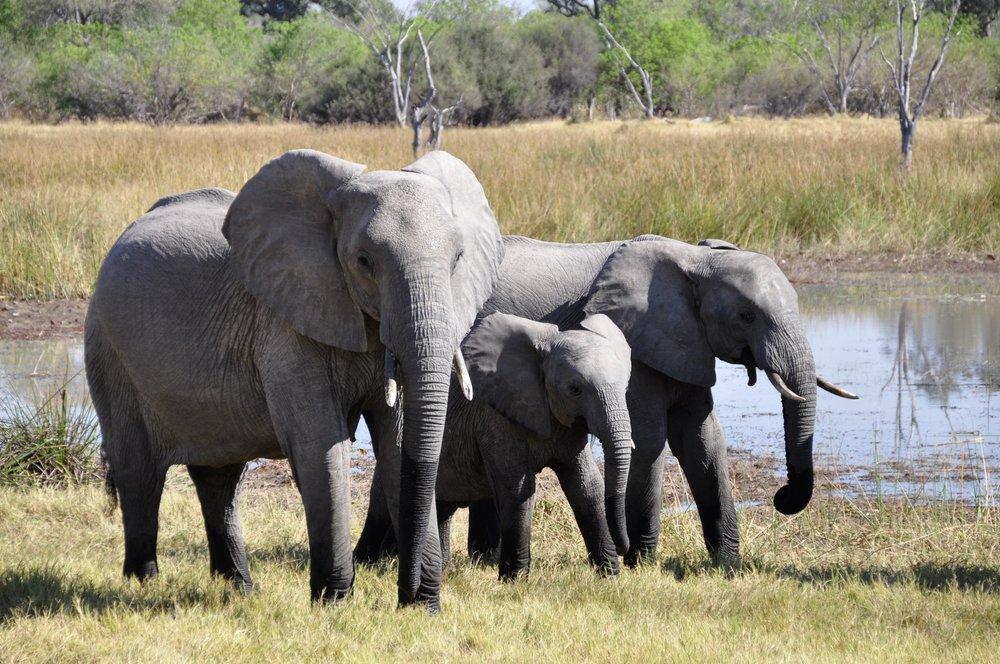 animal-photography-animals-elephant-tusks-86413.jpg
