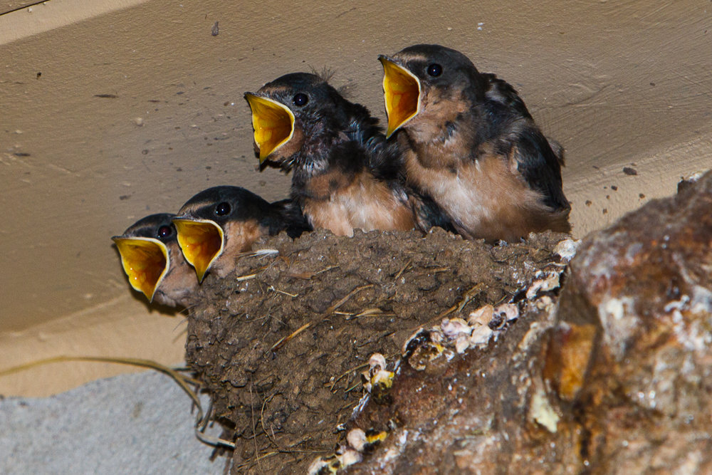 Barn Swallow Chicks - Photo by Mary Lou Dickson