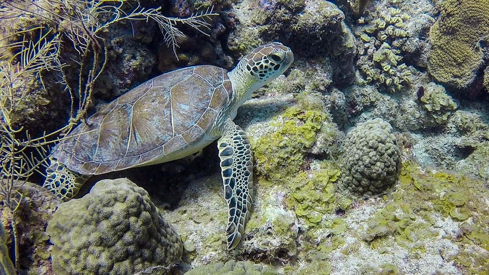 Green Sea Turtle - Photo by Mary Lou Dickson